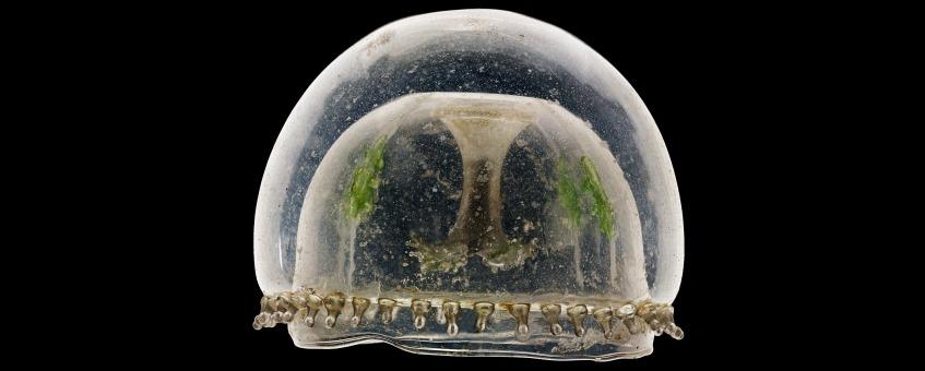 Glasmodell von Eirene viridula aus der Zoologischen Sammlung fotographiert von Guido Mocafico