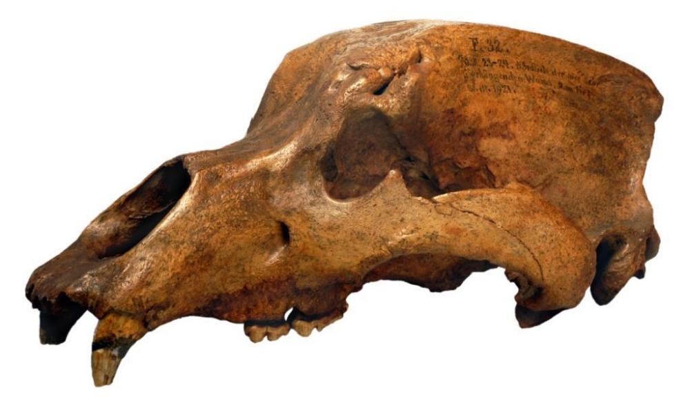 Höhlenbärenschädel