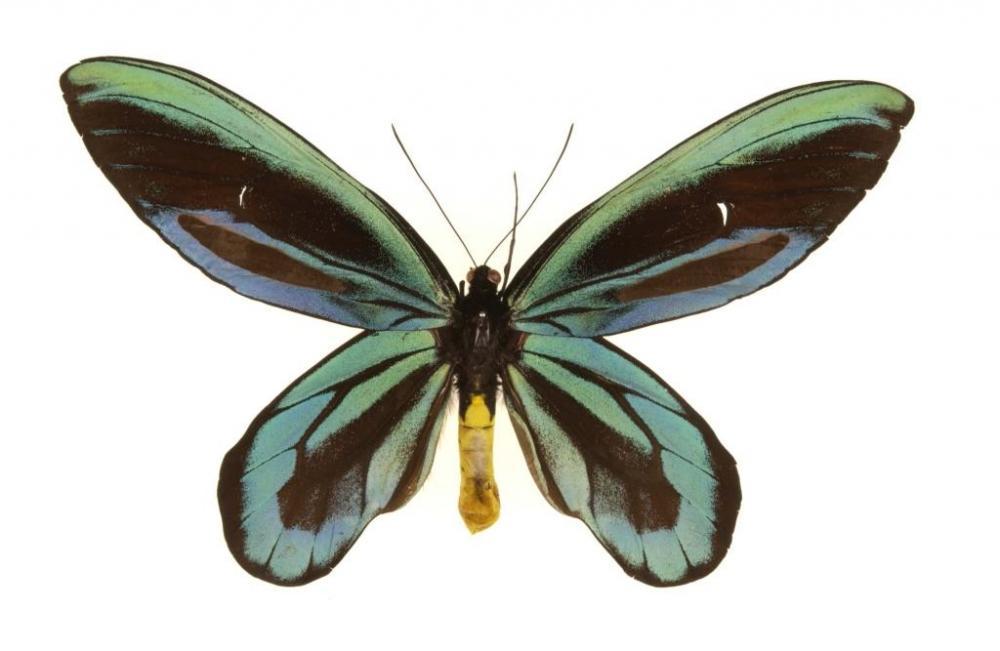 Königin-Alexandra-Vogelfalter