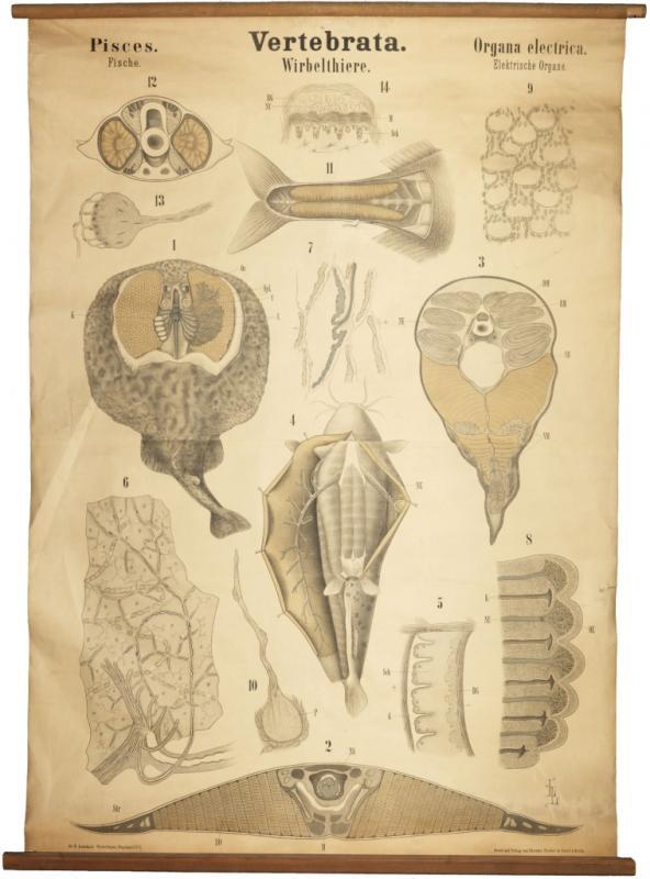 Zoologische Wandtafel: Elektrische Organe der Fische