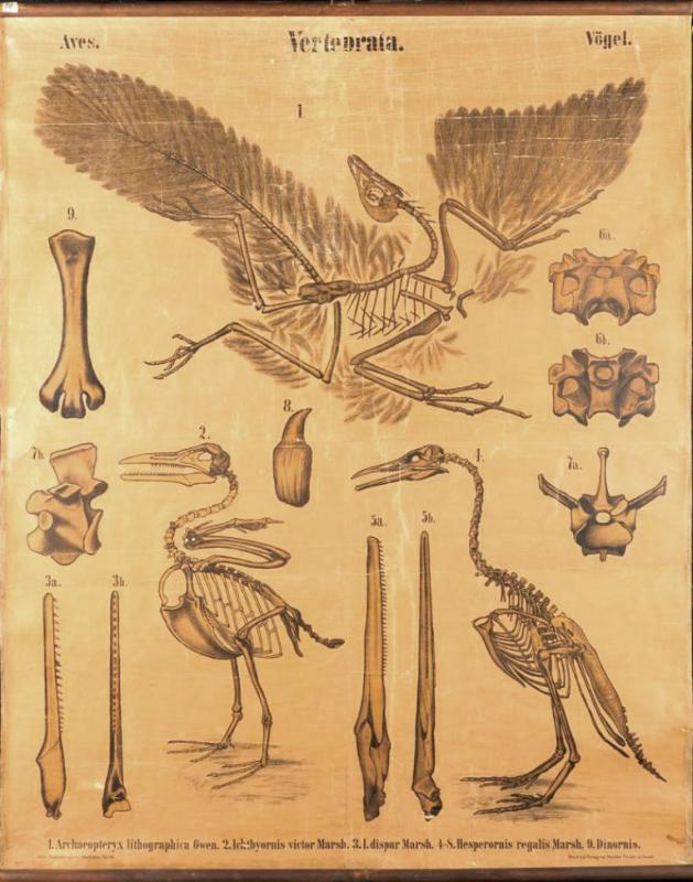 Paläontologische Wandtafel: Vögel
