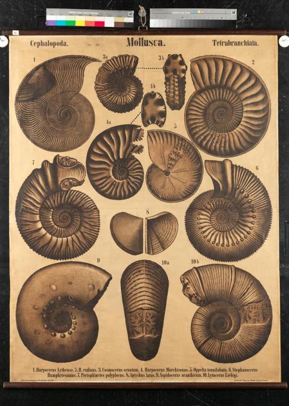 """""""Mollusca – Cephalopoda – Tetrabranchiata"""""""