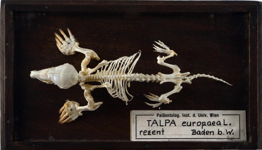 Maulwurf-Skelett