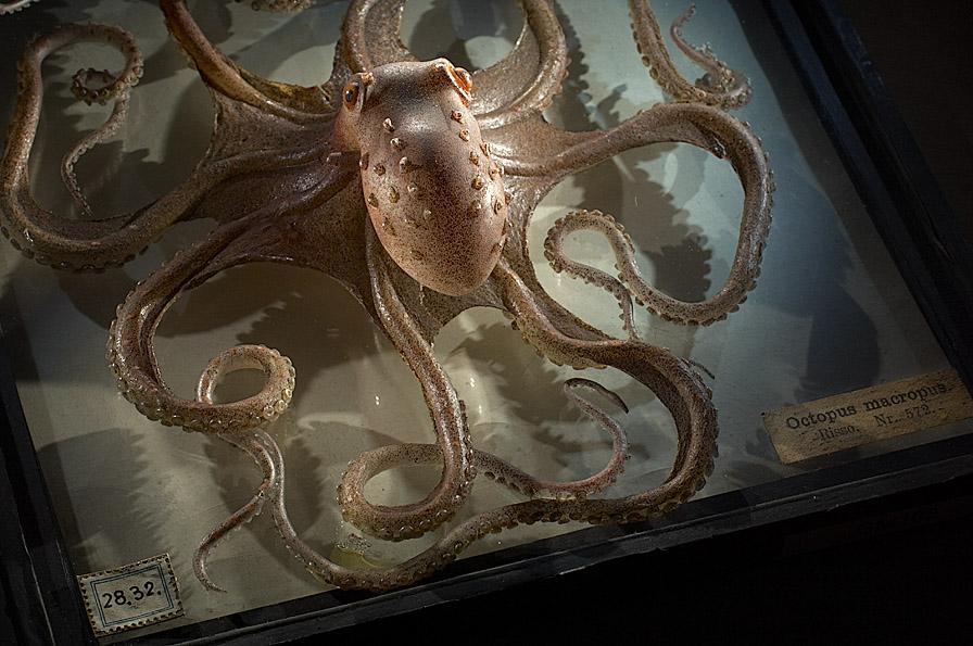 Glasmodell eines Oktopus