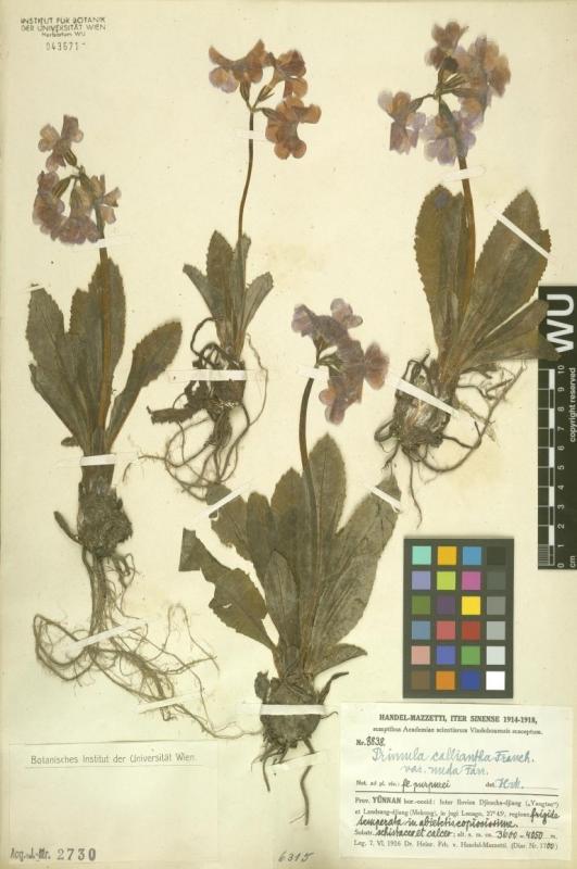 Chinesisches Herbarium von Handel-Mazzetti