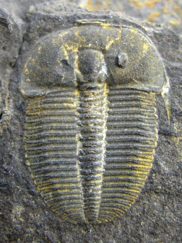 "Trilobit ""Otarion (Aulacopleura) koninckii"""