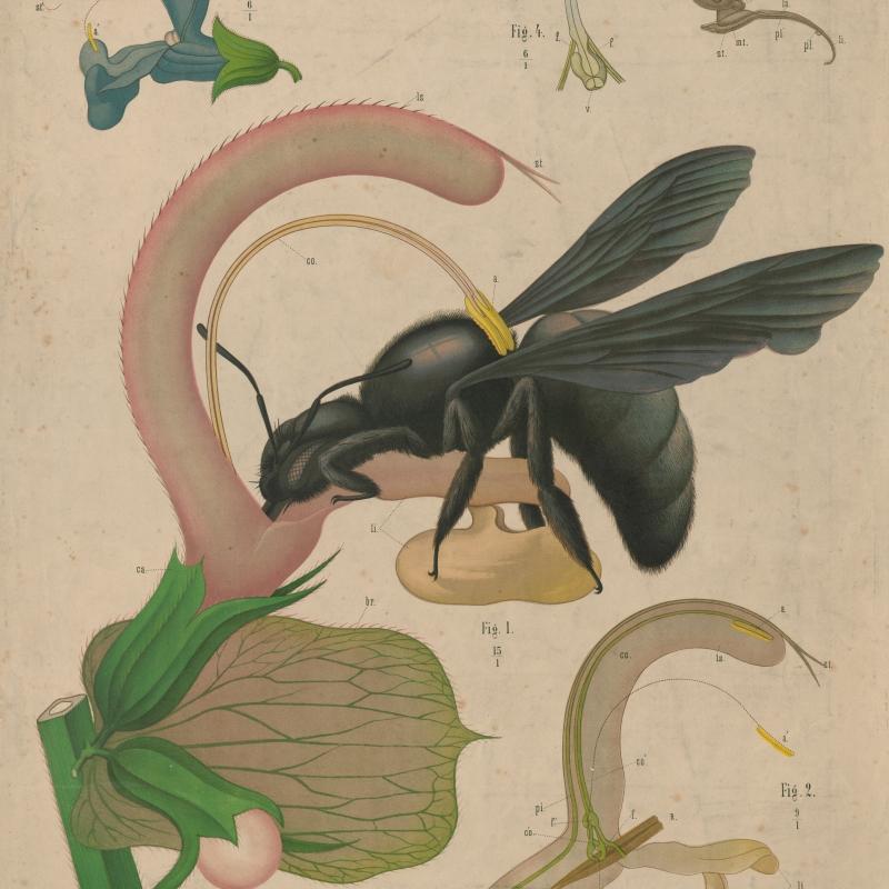 Fremdbestäubung einer Muskatellersalbeiblüte durch eine Holzbiene
