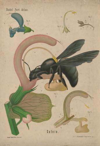 Botanische Wandtafel: Muskatellersalbei