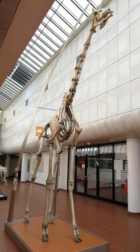 Skelett einer Kap-Giraffe