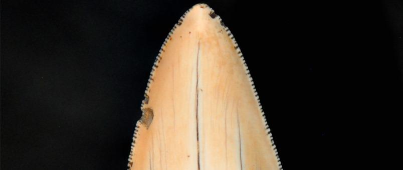 Zahn eines Megazahnhaies